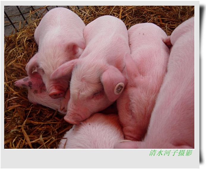 头带旋儿,双眼皮儿,粉嘟嘟的小猪崽好可爱!