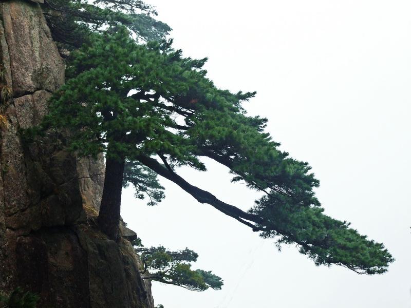 生长在悬崖峭壁的松树