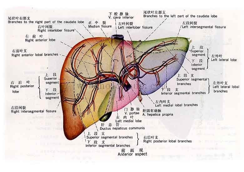 动物肝脏解剖图