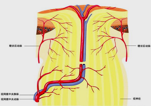 图)视路的组成结构图-我搜集的眼球解剖图谱