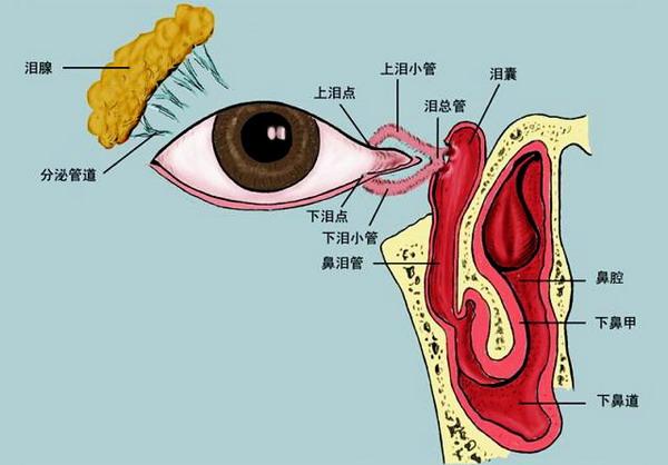 眼睛的泪道解剖图-我搜集的眼球解剖图谱