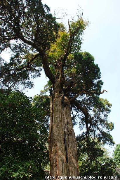 奇特的是,在这株古柏树干北侧距地面1.