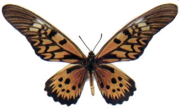 世界上最诡异的蝴蝶——卡申夫鬼美人凤蝶.