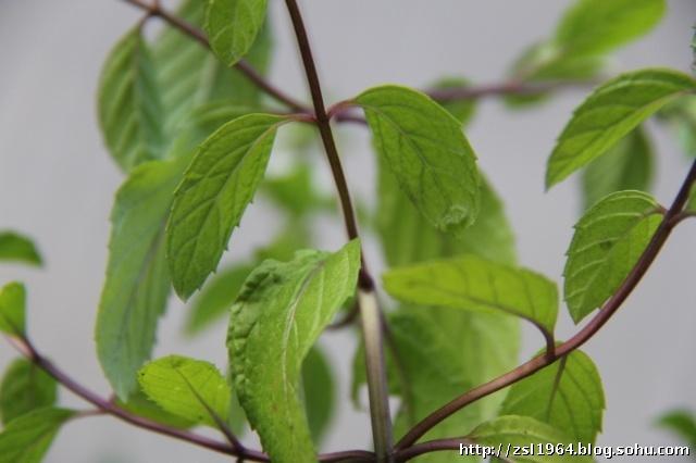 匍匐类树木图片
